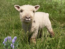 This is a mini babydoll southdown lamb. This breed of sheep is known for a nice wool, a smaller and easy to handle size, and for being sweet cuties! They are great for lawn and weed control. Am I going to need that enough to justify them? Who cares. Look at that face.