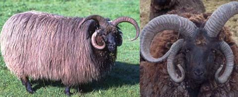"""The Navajo-Churro (also called just """"Churro"""") is also referred to as the American Four-Horned sheep because of its Ram's ability to grow four fully developed horns; a trait that few breeds in the world can claim. Churros can also form six horns, but this is rare. Both rams and ewes develop horns, but the rams see far more development in theirs."""