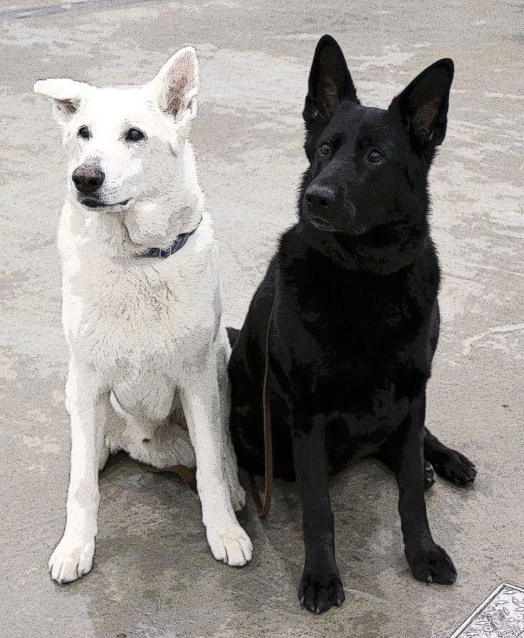 A White & Black German Shepherd--AWESOME!