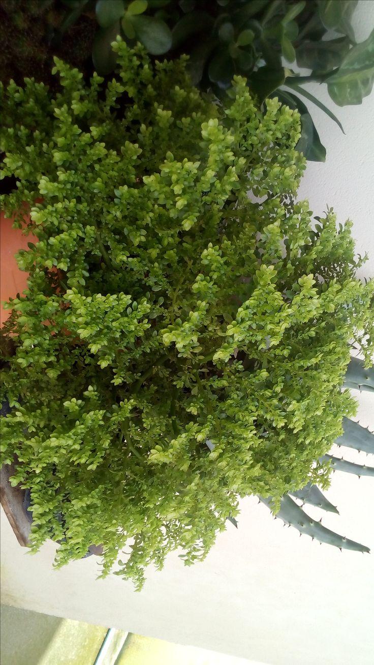 Pilea Microphylla - Zezinho