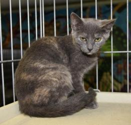 ALEXIS-'Christmas Special' is an adoptable Domestic Short Hair Cat in Warren, MI. ***TO HELP PLACE HER INTO A WONDERFUL NEW FOREVER HOME BY CHRISTMAS TIME ALEXIS'S ADOPTION FEE HAS BEEN REDUCED FROM $...