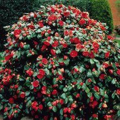 Маломерные кустарники, которые можно посадить на участке | Дачный сад и огород