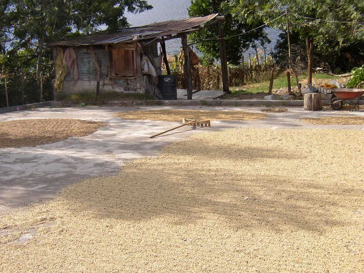 Katie Horner took this photo of Coffee beans drying
