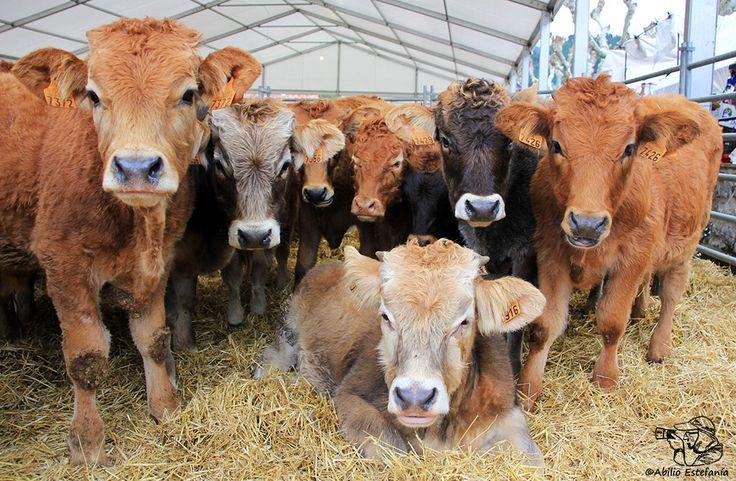 Una buena mañana en la feria de ganado de Potes (Cantabria) con las protagonistas posando para la posteridad