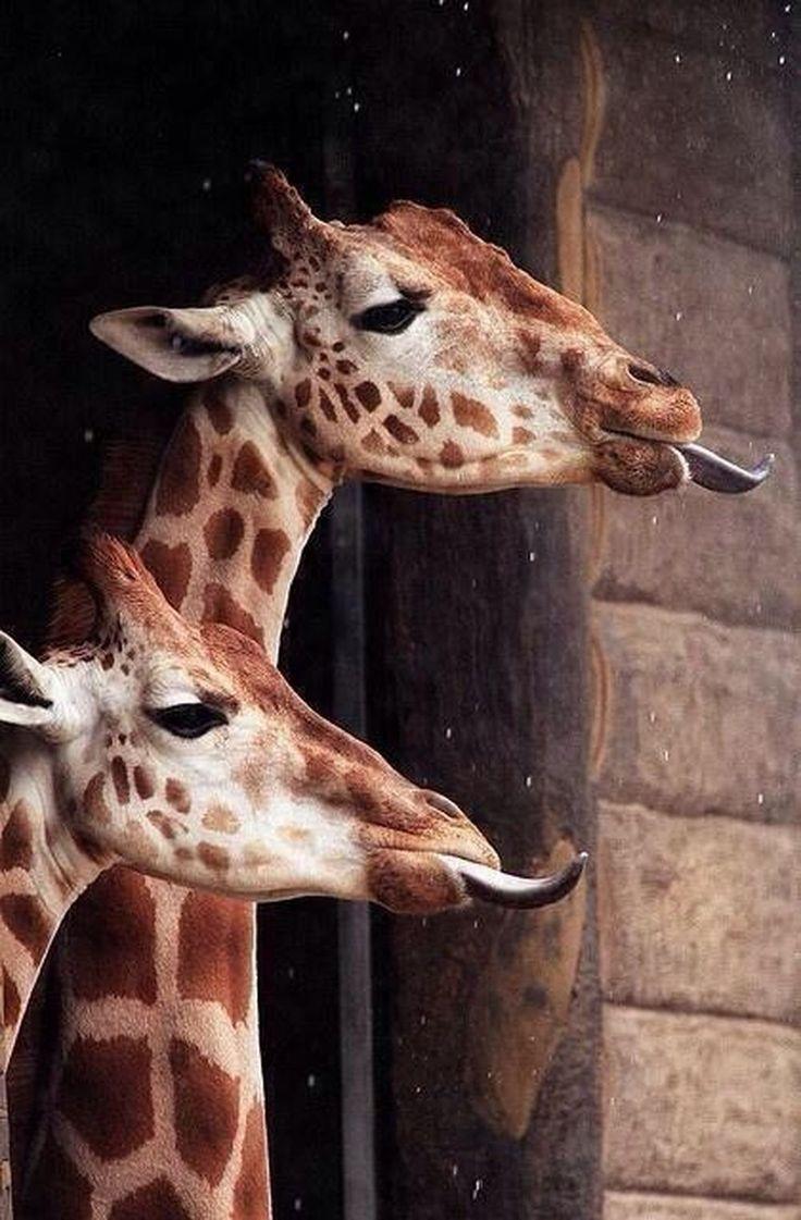 best 25 giraffe tongue ideas on pinterest giraffe funny