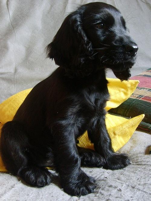 17 best images about fur babies on pinterest spaniels - Free cocker spaniel screensavers ...