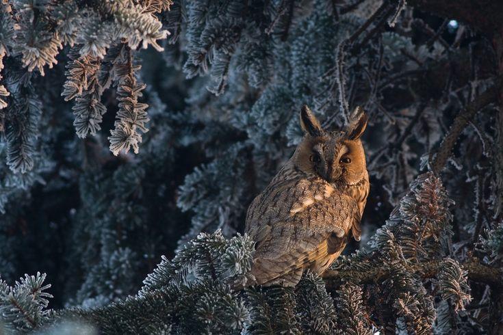 Mateusz Piesiak (Sipa contest 2011): An owl on a frozen branch in Lofer, Austria.