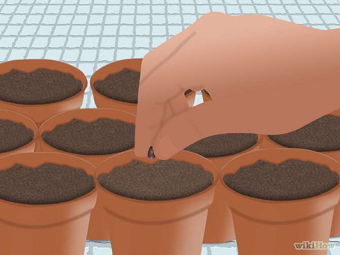 How to Grow Grapes from Seeds: 10 Steps (with Pictures) - wikiHow