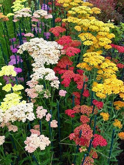 Yarrow is a group of Rocky Mountain native perennials that are available in many colors, ranging from yellow, to white, to red.  The plants are very drought tolerant, requiring almost no watering once established.  Fern-like, finely dissected leaves form clumps at the base of the plant, often naturalizing and spreading.  Flowers are produced on stiff, tall stalks throughout the summer.