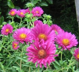 Aster novae angliae 'September Ruby'  