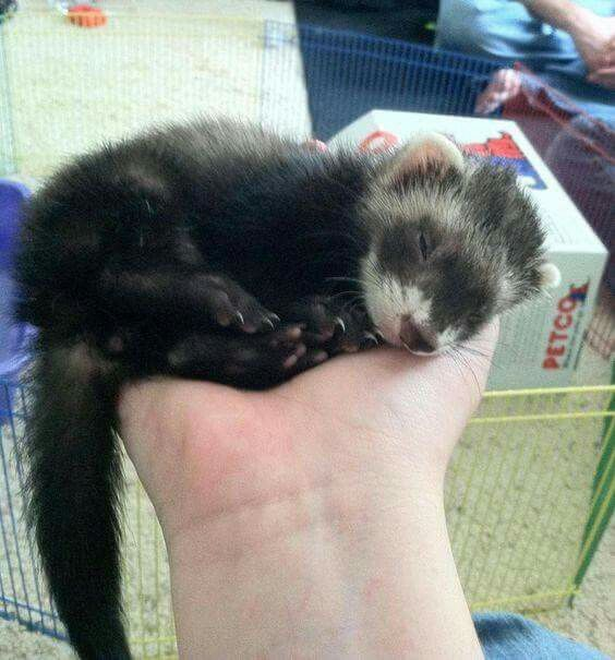 Best Ferrets Images On Pinterest Bear Beautiful And Book Jacket - Rescued kitten adopted by ferrets now thinks shes a ferret too