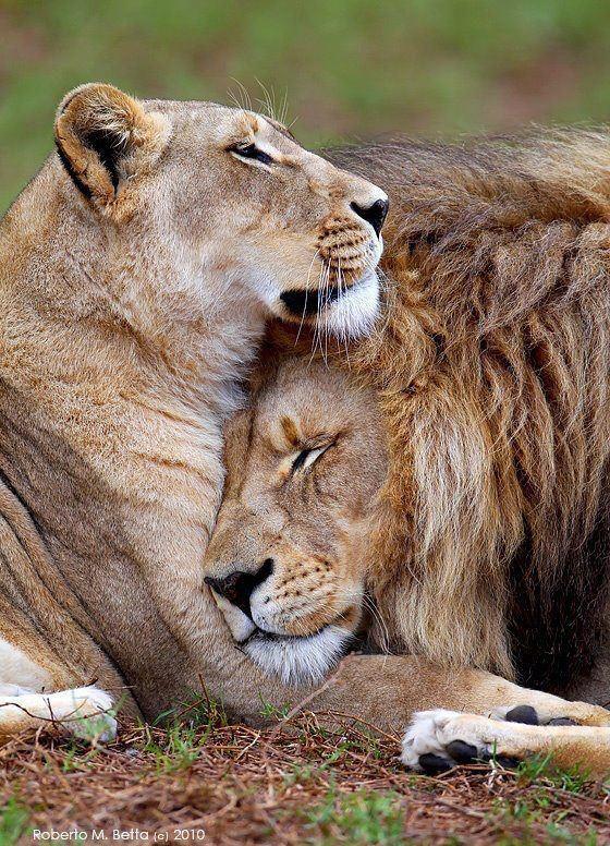 Por algo es el rey de la selva, pero baja la guardia con su leona