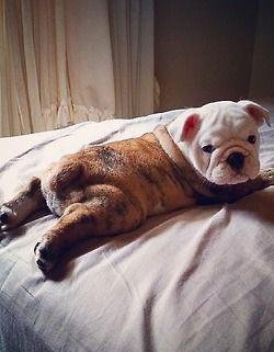 WorldofBulldog on the bed.. awwwwee..