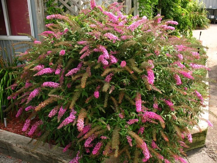 69 best images about my garden plants perth wa on for Tall evergreen shrubs