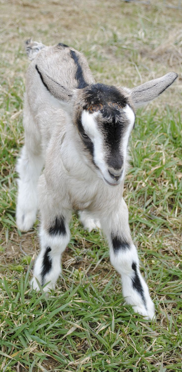 ► Baby Goat Lampy running through the field. Who doesn't love baby goats? Check it out: http://gmsoap.co/1qKberP #cute #GMSKids