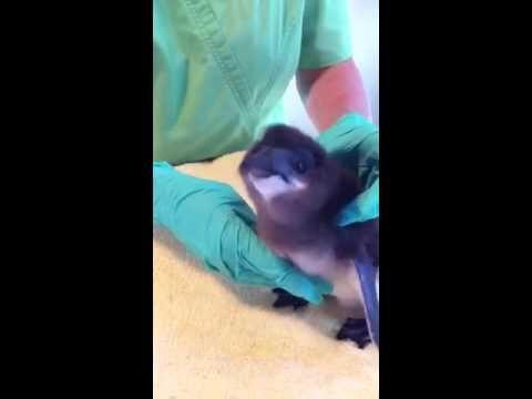 Feeding time for the little blue penguin chick!