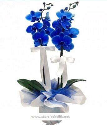 Mavi Orkide, Ürün Kodu: Orkide 605, Mavi Orkide : 2 kök, Ürün Boyutu: Yükseklik 70 cm / Starcicekcilik.net