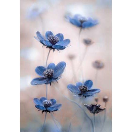 Kosmos Blue Canvas Art – Mandy Disher (20 x 28)