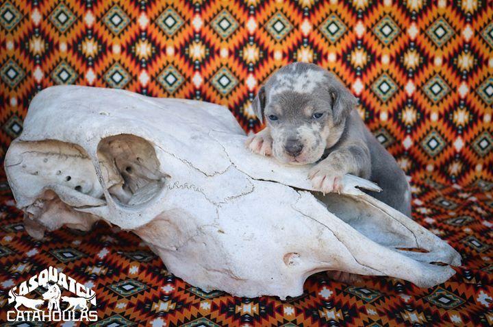 Www Facebook Com Sasquatchcatahoula Catahoulas Catahoulacur Catahoulaleoparddog Puppy Dog Louisianac Louisiana Catahoula Leopard Dog Leopard Dog Hog Dog