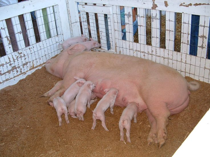 This is how you should treat your sows who have piglets.  The mother pig, her piglets are at the fair, so this is not their regular living enviorment. I was just showing you the big different.