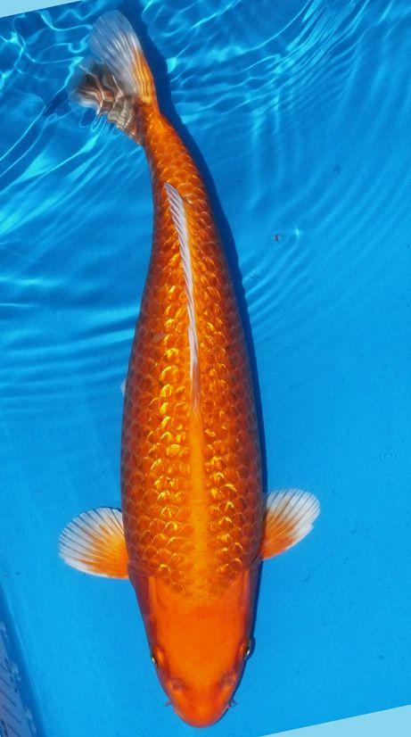 17 best images about koi on pinterest japanese koi koi for Soragoi koi for sale