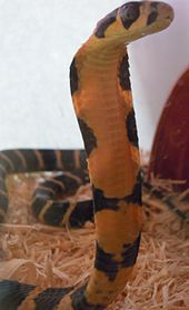 King cobra - Wikipedia, the free encyclopedia