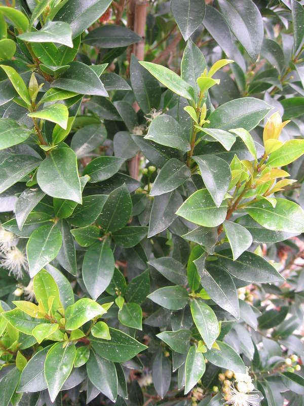 Syzygium australe 'Hinterland Gold' — Warners Nurseries