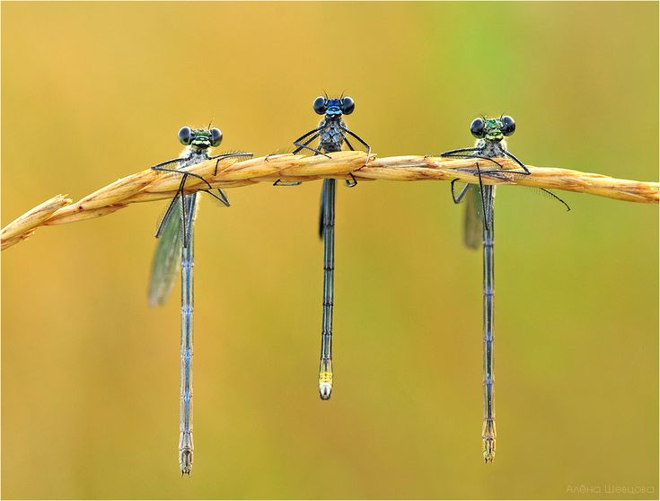Dragonflies just hanging out