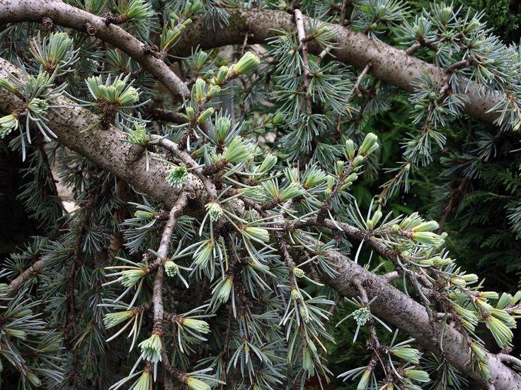 Sapin du Colorado, Abies concolor