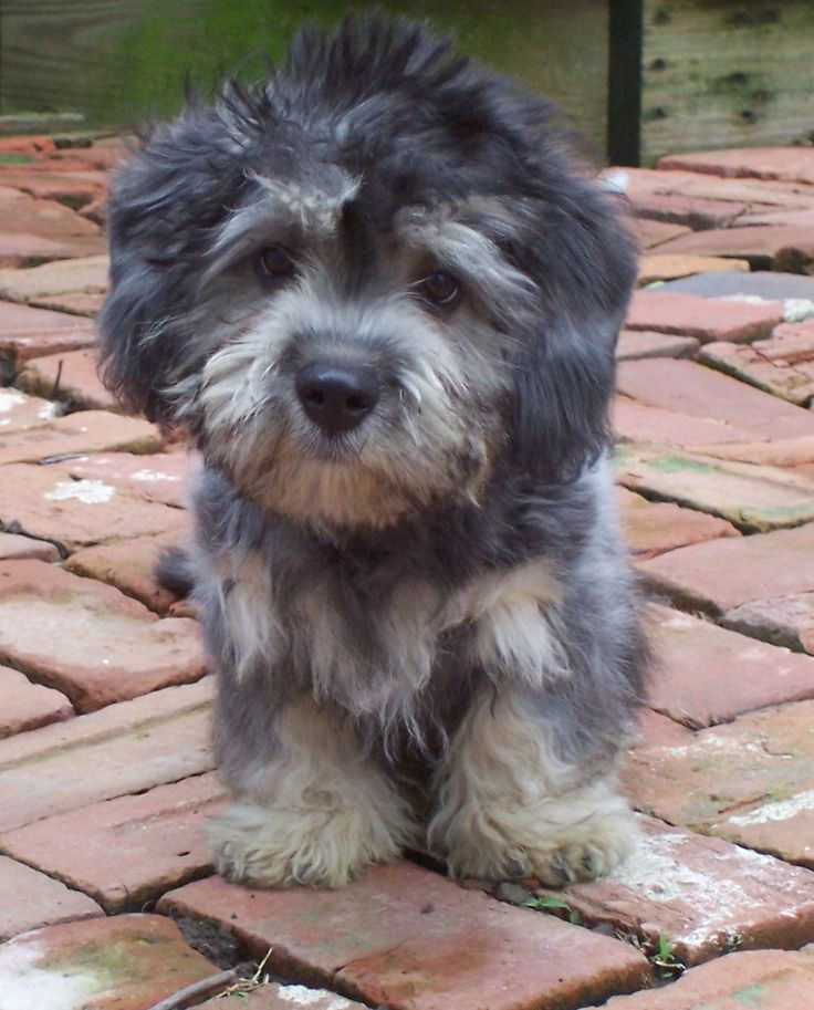 dandie dinmont terrier puppies - Google Search