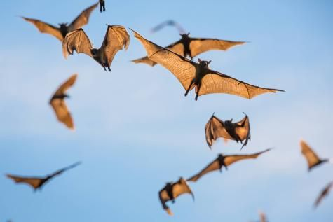 Les chauves-souris sont très friandes des parasites présents dans les champs. © Reporters