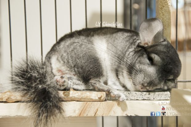 167 Best Images About Sweet Chinchillas On Pinterest Hamsters Exotic Pets And Pets