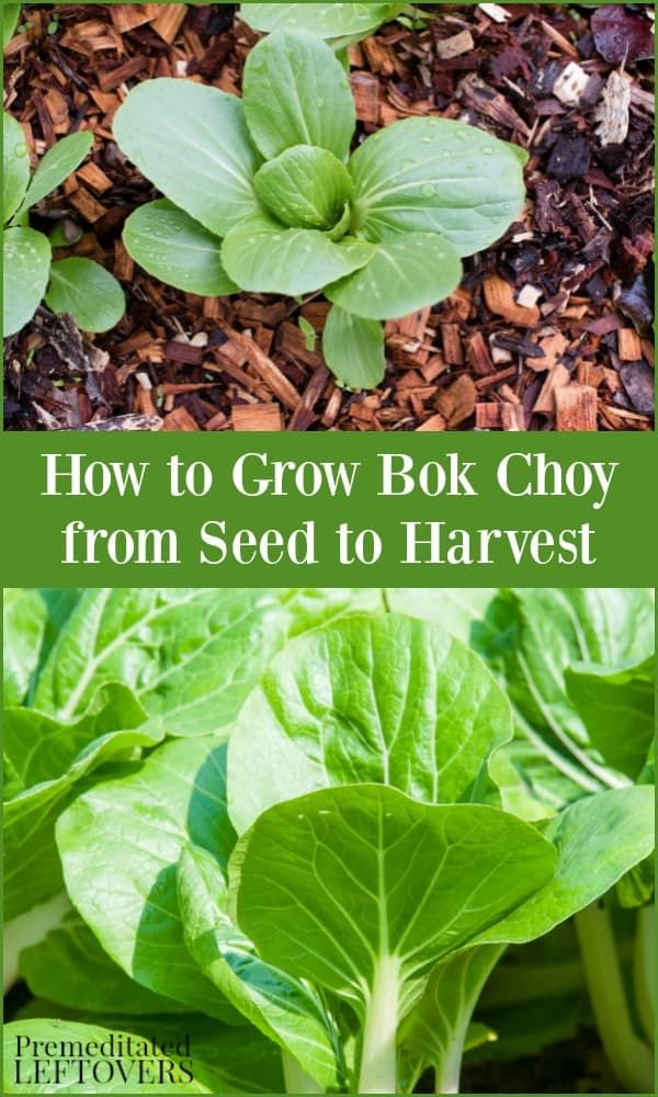 If You Want To Try Growing Bok Choy In Your Garden This Guide On
