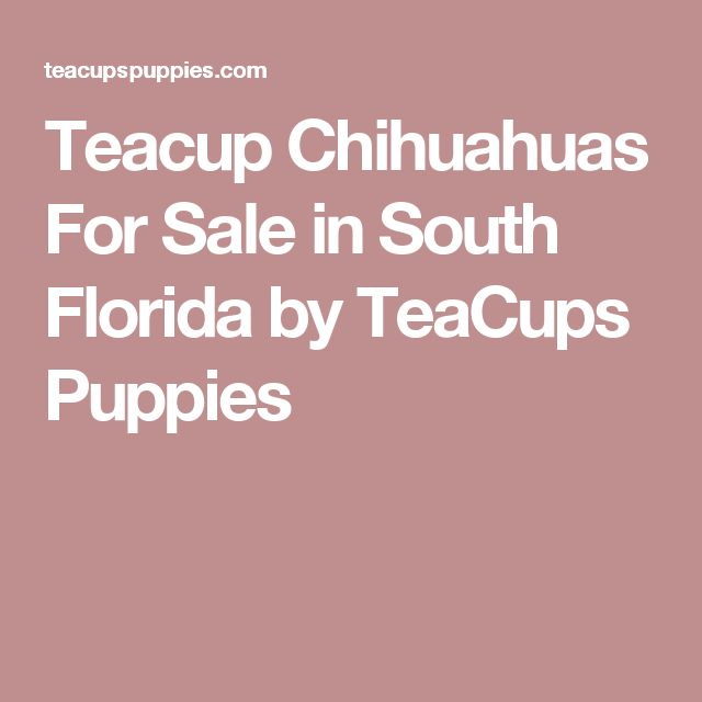 Teacup Chihuahuas For Sale in South Florida by TeaCups Puppies