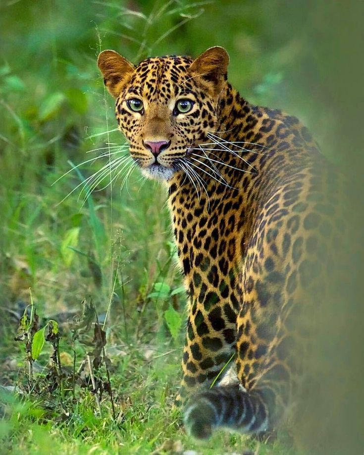 What a beautiful picture of this pretty young leopardess from @mithunhphotography #BigCatFamily