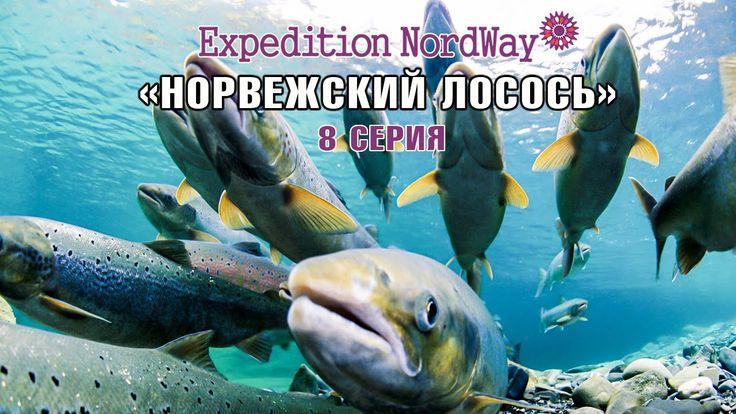"""Наш новый сюжет о повадках норвежского лосося, его способностях перепрыгивать через водопады в желании попасть на нерест. Об удивительных """"волосатых"""" крышах, которые традиционно пропитаны жиром или кровью."""