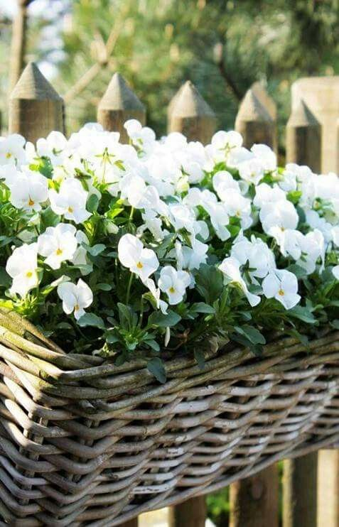 Summer whites ( petunias ? ) AND hanging CANE basket !! Love !