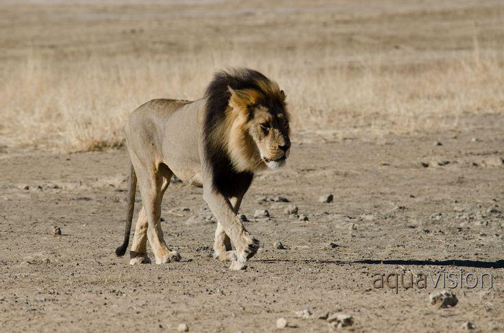 https://flic.kr/p/Rmk3PD | Sb20140811-DM_DSC_6184.jpg | Desert addapted Lion in the Kalahari #BigCats