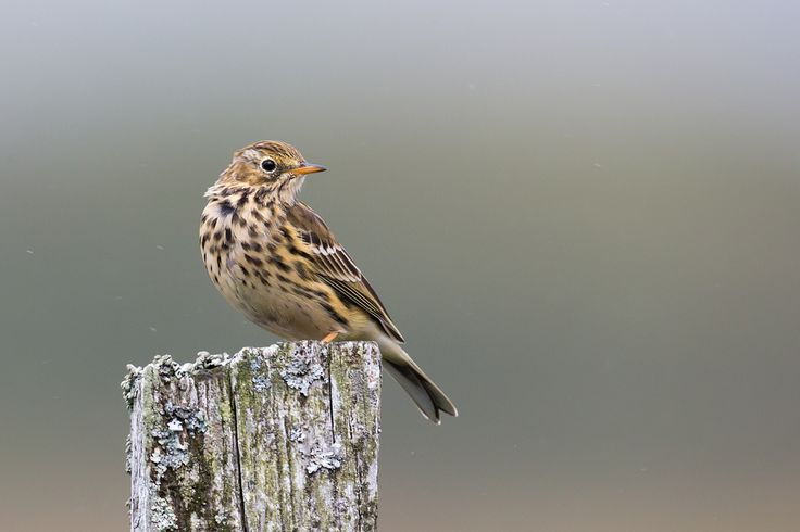 Back in the photo archive!  Meadow Pipit taken on my Summer trip to Mull.  Taken from the car window in the spitting rain.  I did write a blog about my trip to Mull I while ago which can be found here;  oliverwrightphotography.com/blog/view/ospreys-dolphins-ot...