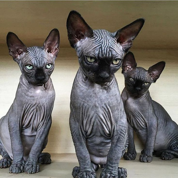 """ROGUE + WOLF ♥ Official Page  (@rogueandwolf) on Instagram: """"#squadgoals!  Tag your cult!  - - - -  @sphynx_valentina @hairless_catstagram #rogueandwolf,…"""""""