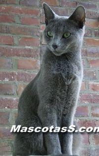 quiero un gato ruso azul como este