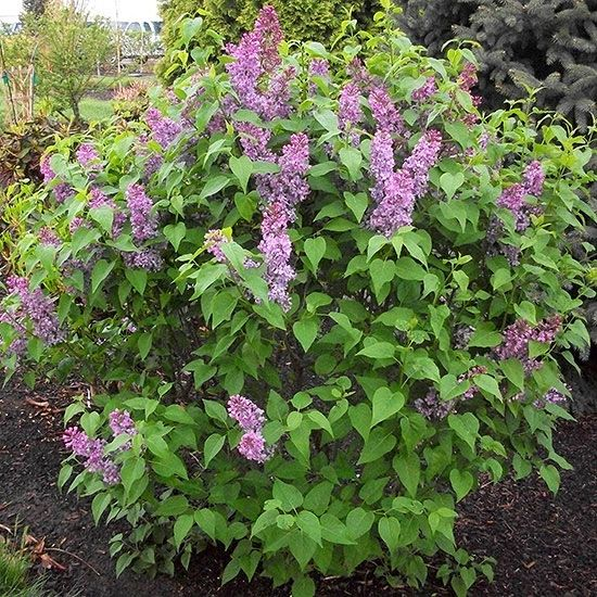 356 best images about syringa on pinterest beijing for Large bushes for landscaping