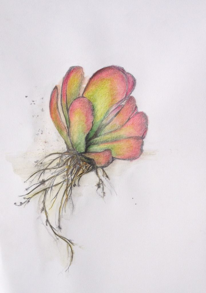 Kalanchoe luciae - Flapjack succulent Prismacolor and Lyra Aquarelle pencils. Lisa McGregor