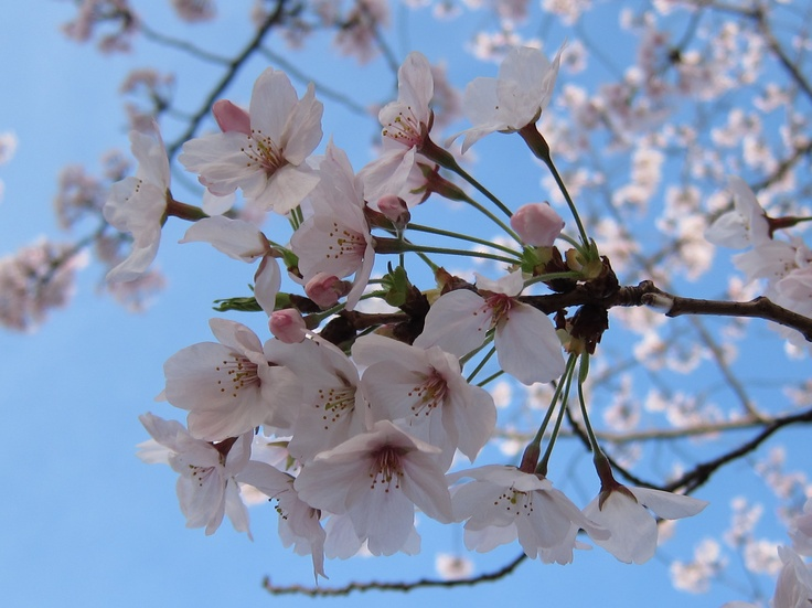 Cherry Blossoms (: