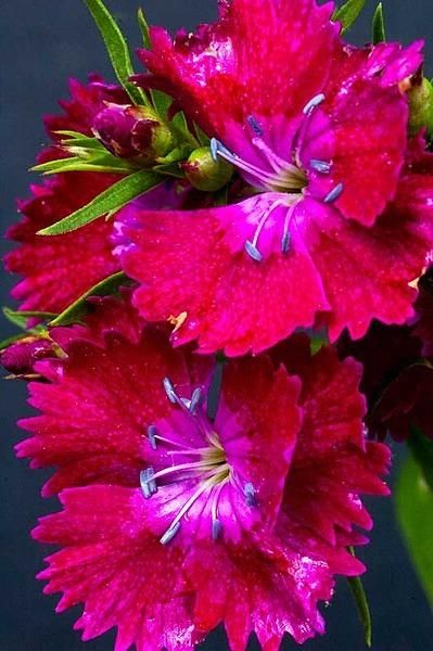 Dianthus or carnation family.  Most are fragrant, perennial & long blooming.  Lots of variety in this plant family.