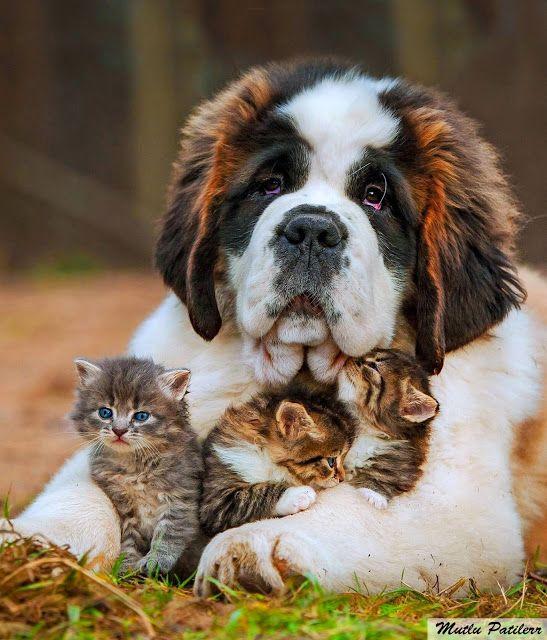 Mutlu Patilerr: Senbernar Köpekleri / The Hospice Dog St. Bernard