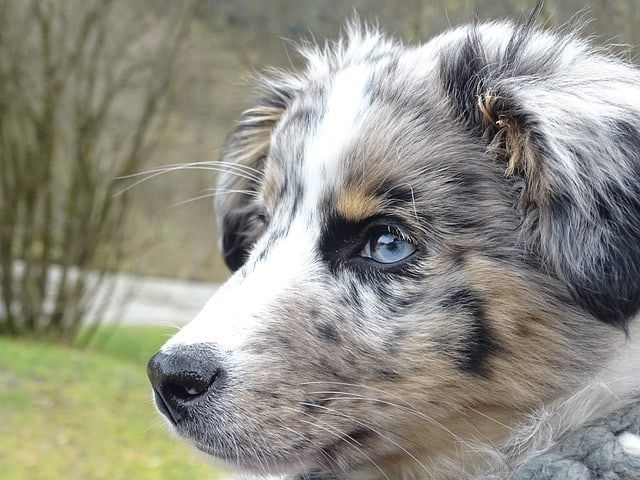 15 Stunning Dogs With Blue Eyes Blue Eyed Dogs Blue Eyed Dog