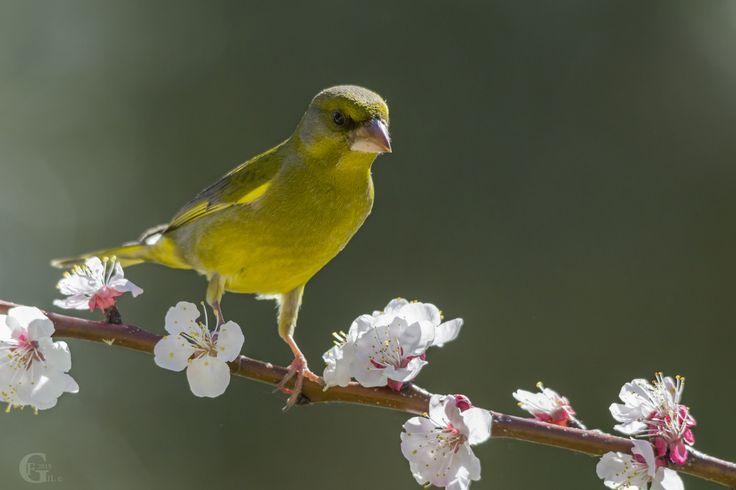 Verdilhão I Greenfinch