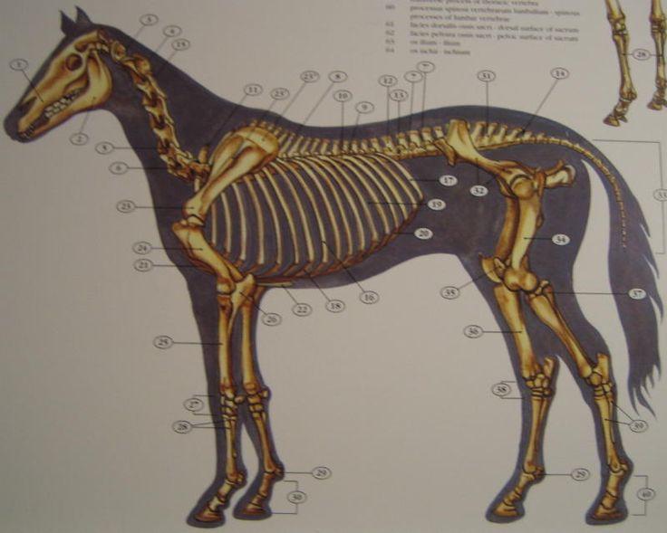 Mammal - Horse