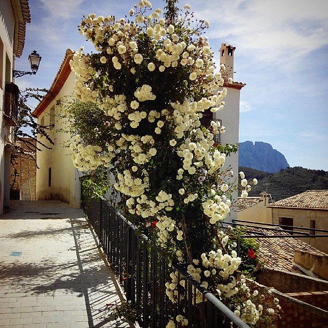 #sella #costablancaorg #costablanca #flores #fleurs #rosas #flowers #inland